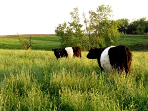 Belted Galloway Cattle at Wayside Valley Farm