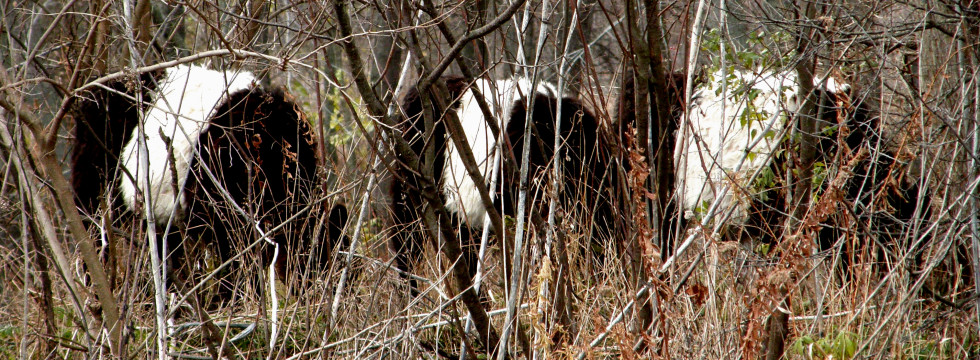 Belted Galloways Through Brush