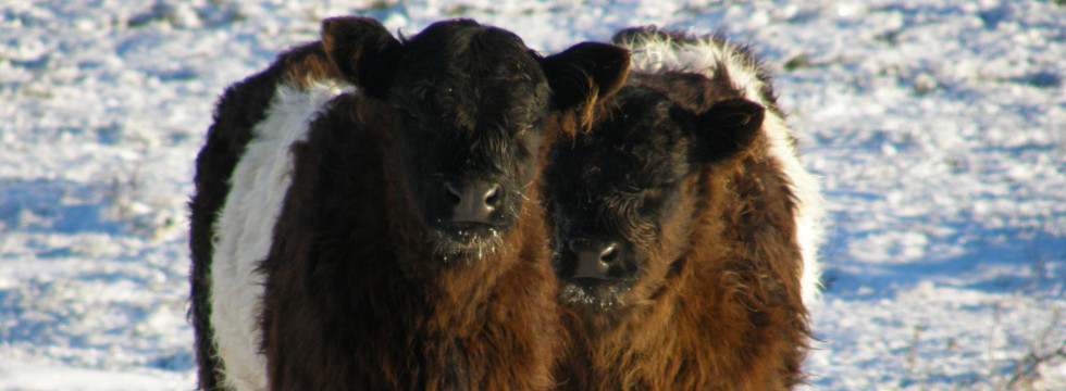 Fuzzy Belted Galloway Calves