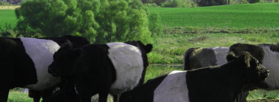 Wayside Valley Belted Galloway Herd