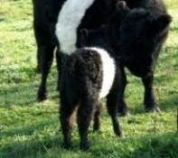 Newborn Belted Galloway