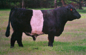 Belted Galloway - Supreme